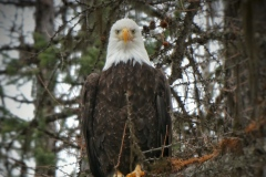 Eagle with a Critical Eye