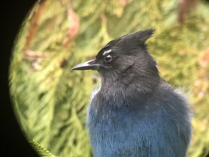Steller Jay captured with GoPro